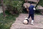 Малыш панды, мешающий работать сотруднику зоопарка, взорвал Сеть