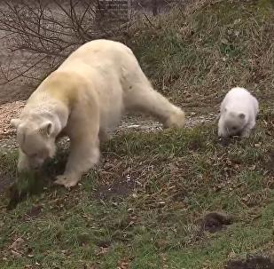Трехмесячная дочка полярной медведицы Джованны из мюнхенского зоопарка впервые покинула закрытый вольер и предстала перед посетителями. Смотрите на видео, как малышка играла на свежем воздухе.