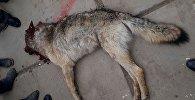 Убитый волк, который напал на животных в селе Калкагар Тонского района