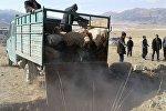 Местные жители сжигают животных, которые были укушены бешеным волком