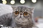 Кошка породы экзотическая короткошерстная. Архивное фото