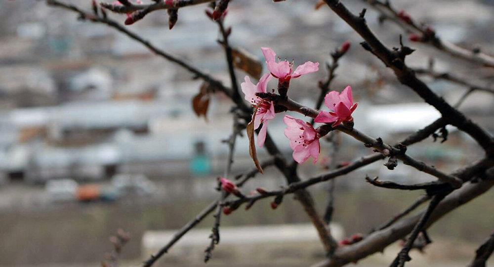 Зацвели фисташковые деревья на горе Сулайман-Тоо в Оше