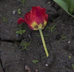 Вырванный бутон тюльпана на центральной площади Ала-Тоо в Бишкеке. Архивное фото