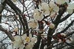 Цветение урюка в Баткене