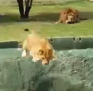 Неудачная попытка нападения львицы на туристов рассмешила соцсети
