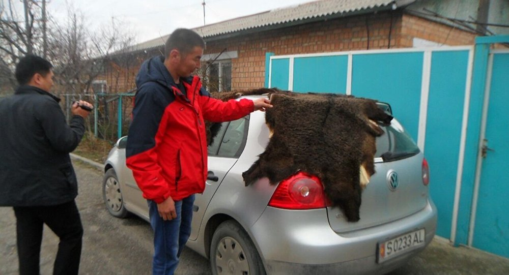 Сотрудники Департамента рационального использования природных ресурсов совместно с группой Барс NABU и Чуйским областным УВД задержали жителя Чуйской области при попытке продажи шкур двух медведей