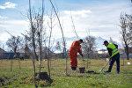 Сотрудники муниципального предприятия Зеленстрой во время посадки саженцев лиственный деревьев в Ленинском районе Бишкека