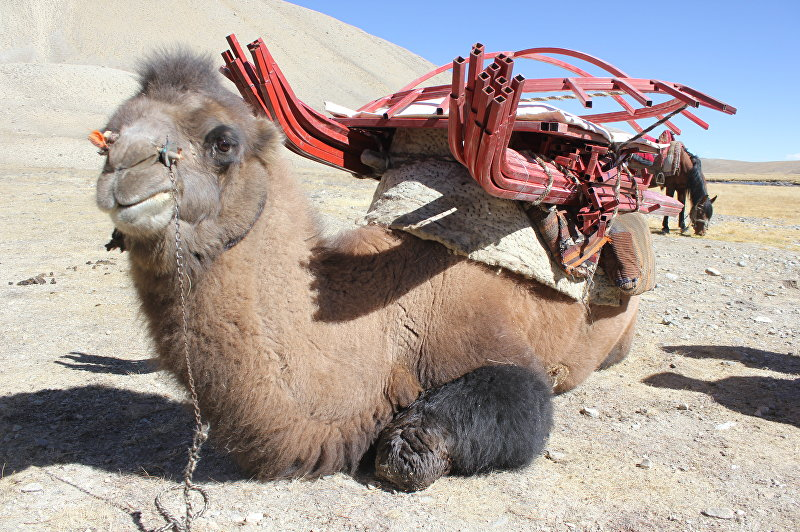 …Местные жители погрузили их на кораблей пустыни — верблюдов