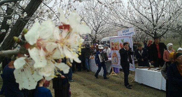 Баткен районунун Кызыл-Бел айылындагы өрүк бакта Өрүк гүлү — 2017 фестивалы өттү.