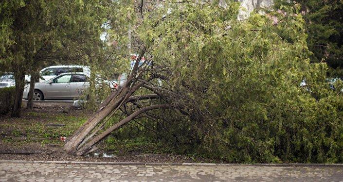 На аллее вдоль проспекта Эркиндик рухнуло еще одно дерево.
