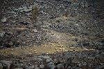 Стадо овец у скал. Архивное фото