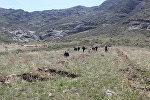Баткен облусундагы Айгүл-Тоого бир жарым миңден ашык көчөт отургузулду
