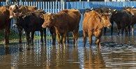 Коровы во время паводков. Архивное фото