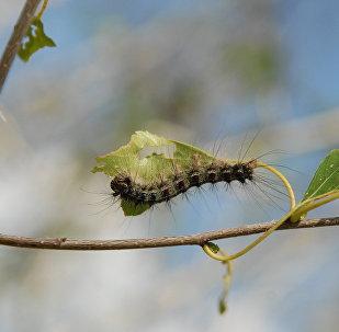 Гусеница шелкопряда. Архивное фото
