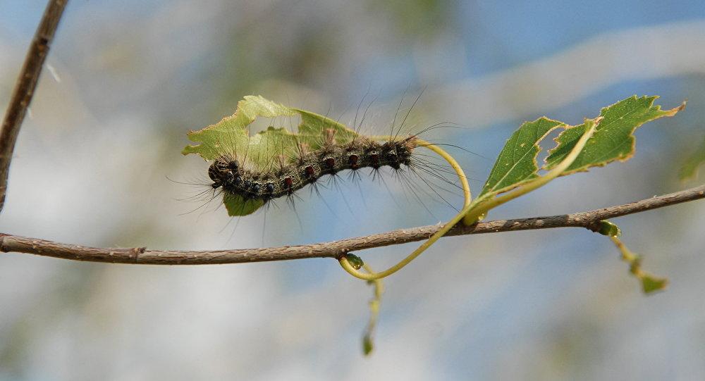 Ученые отыскали гусениц, которые едят полиэтиленовые пакеты
