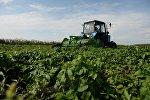 Подготовка к сбору урожая картофеля. Архивное фото