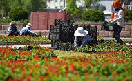 Сотрудники муниципального предприятия Зеленстрой ведут посадку цветов на клумбах в центре Бишкека. Архивное фото