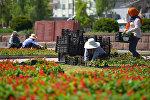 Сотрудники муниципального предприятия Зеленстрой ведут посадку цветов на клумбах в Бишкеке. Архивное фото