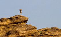 Архар (горный баран) или аргали. Архивное фото