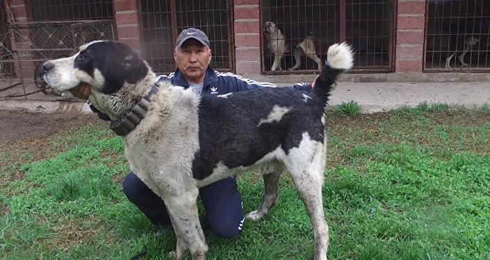 Кыргызстандагы эң чоң ит. Миша Галустян арзып келген Аракет