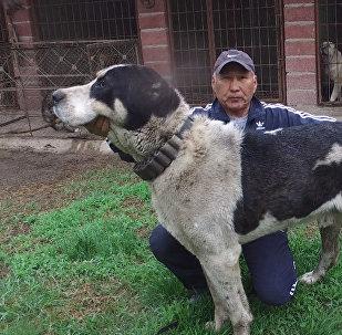 Самый большой волкодав в Кыргызстане — его щенков купил Миша Галустян