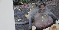 Бангкоктогу базардын жанында жашаган Uncle Fatty аттуу маймыл. The Daily Mail сайтынан тартылган сүрөт