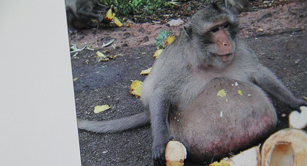 Самую толстую обезьяну посадили надиету