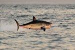 Ак акула. Архивдик сүрөт