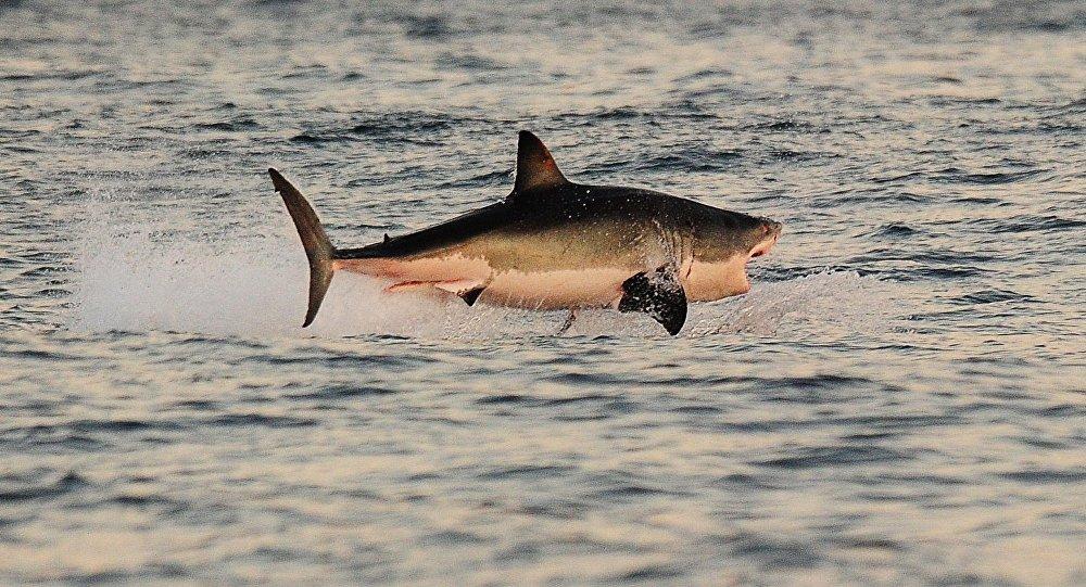 Акула. Архивдик сүрөт