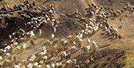 Стадо овец. Архивное фото