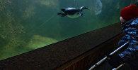 Ребенок наблюдает, как пингвин Гумбольдта плавает под водой в вольере в Московском зоопарке. Архивное фото