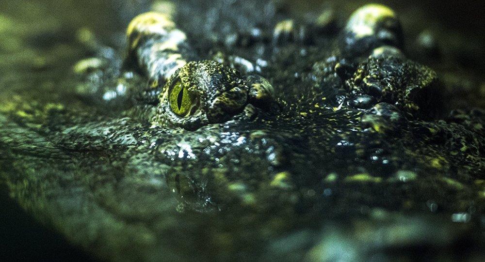Крокодил. Архивдик сүрөт