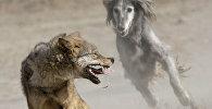 Травля волков тайганами. Архивное фото