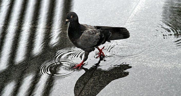 Голубь во время дождя. Архивное фото