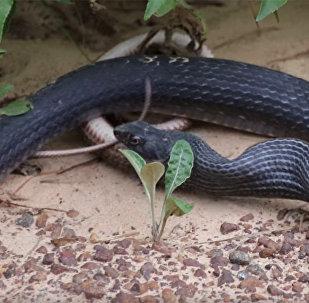 Одна змея побывала в желудке другой и выжила — видео, снятое супругами