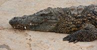 Крокодил. Архивное фото