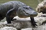 Американский аллигатор. Архивное фото