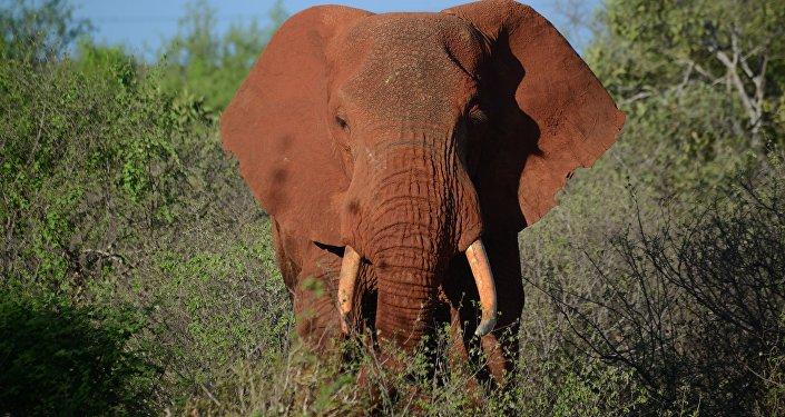 Самка слона. Архивное фото