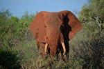 Слон в заповеднике в Кении. Архивное фото