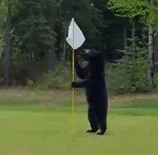 АКШда гольф аянтына чуркап чыккан аюу оюнчулардын жүрөгүн түшүрдү