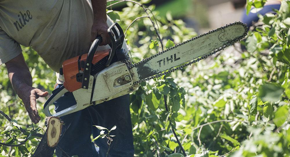 Сотрудник муниципальной службы с бензопилой во время вырубки деревьев. Архивное фото