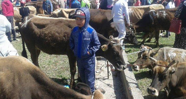 Нарын облусунда жардамга муктаж болгон 250 үй-бүлөгө бирден музоолуу уй тапшырылды