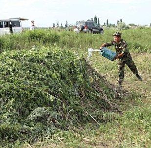 Сотрудники ГУВД Чуйской области уничтожили 4 гектара дикорастущей конопли