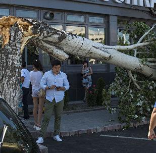 Упавшее из-за сильного ветра дерево, на улице Шопокова в Бишкеке