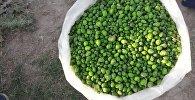 Школьники Джалал-Абада собирают зерна дикого растения под названием Гавар и продают его