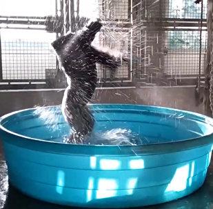 Горилла в бассейне неожиданно станцевала брейк-данс