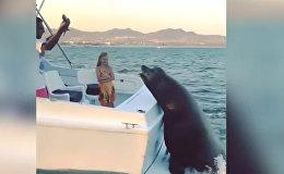 Громадный тюлень забрался на движущуюся лодку, чтобы получить рыбу