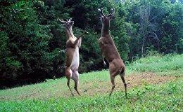 Два оленя дерутся на задних лапах
