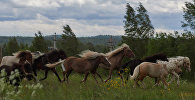 Табун лошадей. Архивное фото