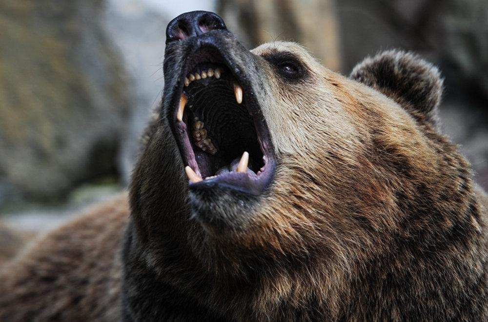 атакующий медведь фото одна